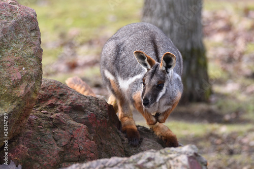 Foto Murales Yellow-footed rock-wallaby (Petrogale xanthopus)
