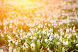 Snowdrops field in forest natural landscape. Nature spring background