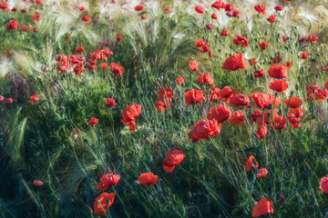 A lot of bright and gentle poppies on the meadow