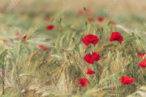 A lot of bright and gentle poppies on the meadow	 - 243154577