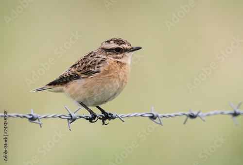 Foto Murales A stunning Whinchat (Saxicola rubetra) perched on barbed wire fence.