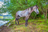 Beautiful grey mare grazing on the river shore - 243162927