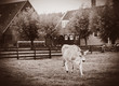 Cow on green meadow of old Dutch farm. Holand, Netherlands . Image in sepia color style