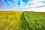 Fototapeta Fototapeta z niebem - Yellow and green grass on the field. Summer landscape on a sunny day © sergeimalkov13