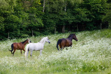 horses free running in spring pasture meadow on farm, countryside rural scene