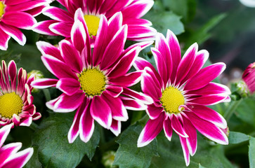 Chrysanthemum indicum with pink and white flower