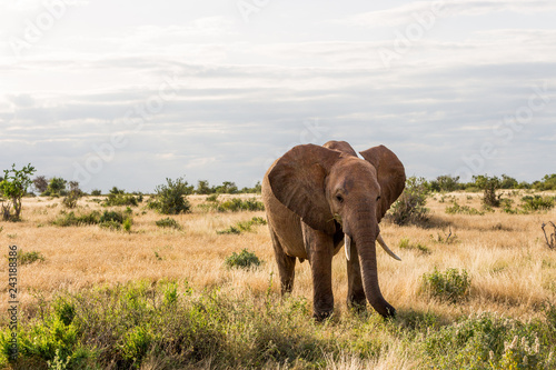 Poster Wild Elephants in Kenya, Africa