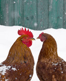 rooster and chicken love birds on snow winter snowflakes fall