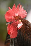 beautiful big rooster