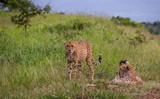 Two cheetahs play in the green grass of the African wilderness image with copy space in landscape format