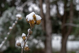 Image of dried flowers under the snow. - 243237988