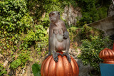Long-tailed Macaques Batu Caves - 243240769