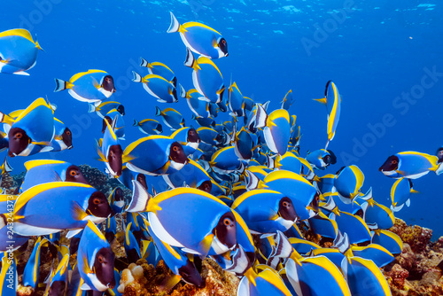 obraz lub plakat School of Powderblue Surgeonfish