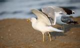 seagull eats a piece of bread on the sandy beach