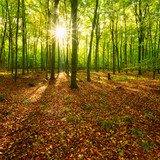 Sunny Forest of Beech Trees - 243257713