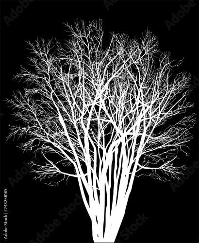 bare dense white tree isolated silhouette - 243258165