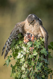 A female sparrowhawk perched on top of an ivy covered post with its prey. It is looking down and a wing is spread to cover the prey and taken in an upright format. - 243267521