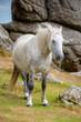 Dartmoor Pony near Saddle Tor, Dartmoor, Devon, UK
