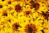 Bright yellow rudbeckia natural background - 243277940