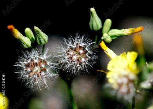flor,natureza - 243288718