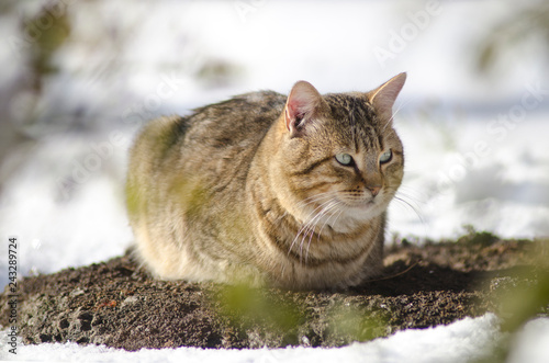 tabby cat sitting in the snow