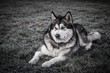Dog breed alaskan malamute plays in a garden. Selective focus. Toned
