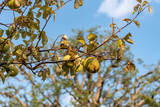 Fruit of chinese quince, on the branch - 243292754