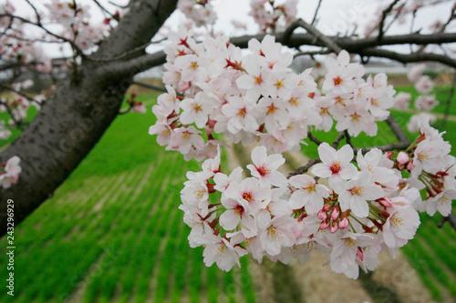 春と桜と田んぼ