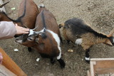 goat on a farm - 243298144
