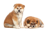 Akita Inu puppy dog on white background - 243300334