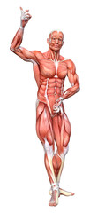 3D Rendering Male Anatomy Figure on White © photosvac
