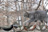 Cat grey gray stray walking wall city street
