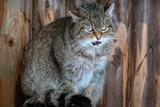 Wild forest cat portrait
