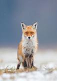 Fox (Vulpes vulpes) - 243316327