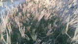 beautiful dry reeds grass background - 243322373