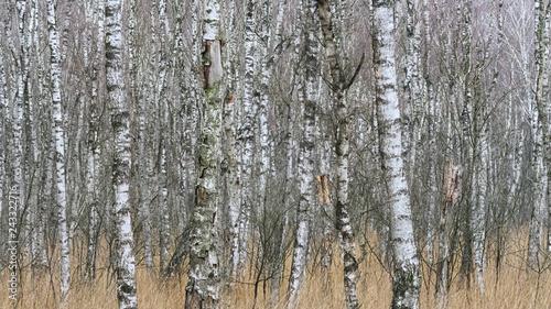 Totes Moor - Birkenwald, Moorbirke, Deutschland