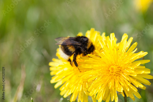 Bumble bee on dandelion at summer day close-up - 243325529