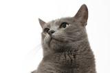 studio portrait of a beautiful grey cat on white background