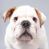 British Bulldog Puppy Photoshoot