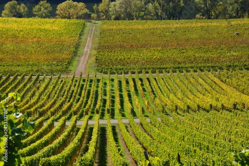 grüne Weinberge im Sommer im Moseltal in der Nähe von Briedel und Pünderich