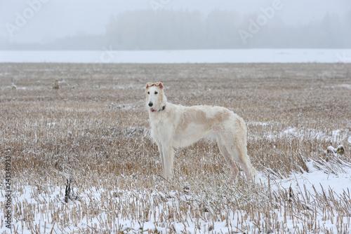 obraz PCV White Russian wolfhound