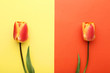 Beautiful tulip flowers on colorful background