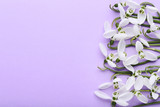 Snowdrop flowers on purple background - 243346509