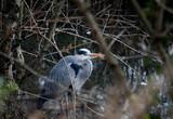 grey heron hunting in a pond - 243347515