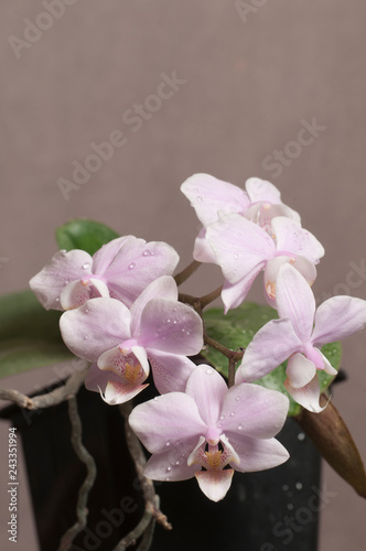 Phalaenopsis orchid flowers (butterfly orchid) - 243351994