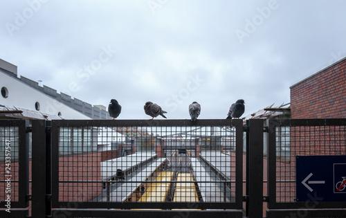 Tauben der Stadt