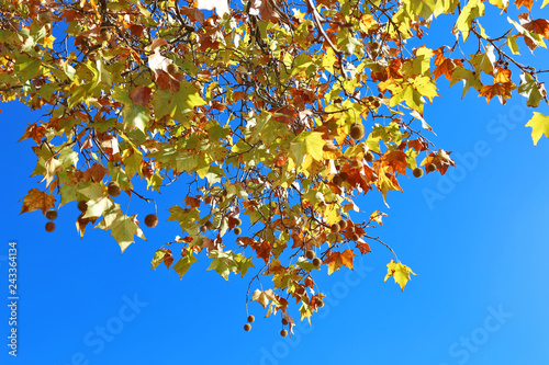 autumn trees with red leaves at Hyde park London city United Kingdom