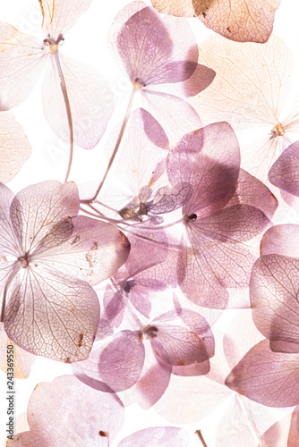 Wall mural pink hydrangea flowers on the white background. floristic concept