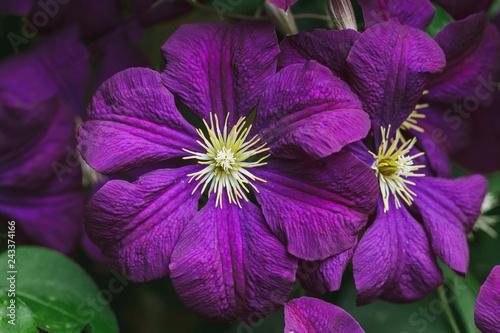 Violet Clematis Flowers in the Garden macro shot
