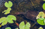 Florida softshell turtle (Apalone ferox) swimming submerged in lake - Long Key Natural Area, Davie, Florida, USA - 243386167